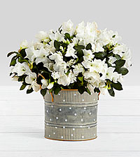 Potted White Azalea in Farmhouse Tin