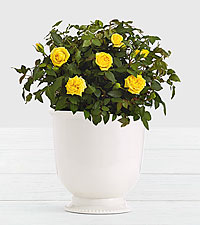 Potted Yellow Roses in Ceramic Cream Urn
