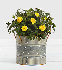 Potted Yellow Roses in Farmhouse Tin