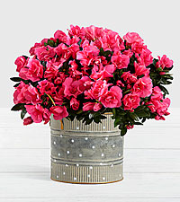 Hot Pink Azalea Plant in Farmhouse Tin