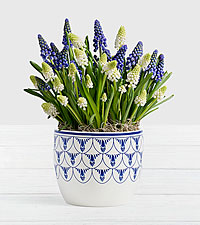 Blue and White Magic Muscari Bulb Garden in Delft Ceramic Planter