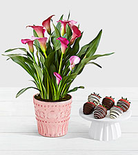 Potted Pink Calla Lily with 6 Swizzled Strawberries