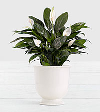 Lush Tropical Peace Lily in Ceramic Cream Urn