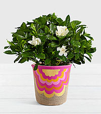 Potted Fragrant Gardenia in Moroccan Fan Basket