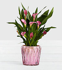 Potted Pink Calla Lily in Pink Geo Mercury Planter