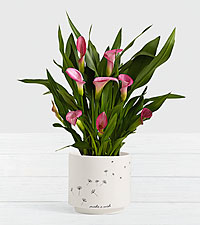 Potted Pink Calla Lily in Make a Wish Planter