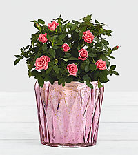 Pink Potted Roses in Pink Geo Mercury Planter