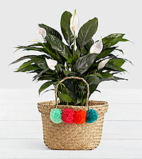 Lush Tropical Peace Lily in Pom Pom Basket