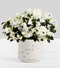 Potted White Azalea in Make a Wish Planter