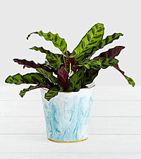 Rattlesnake Shelfie Plant in Blue Marbled Ceramic