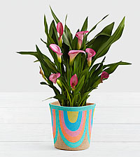 Potted Pink Calla Lily in Rainbow Basket