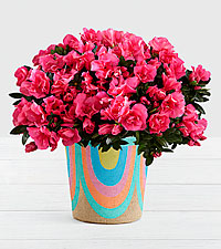 Hot Pink Azalea Plant in Rainbow Basket