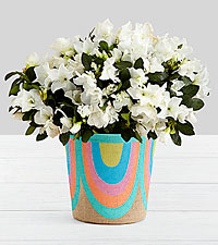 Potted White Azalea in Rainbow Basket
