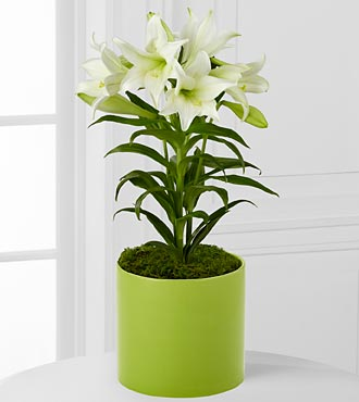 FTD Spring Blessings Easter Lily Plant - Best