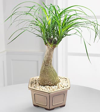 Bonsai Palm