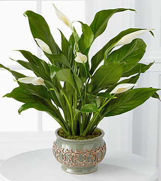 Serene Peace Plant