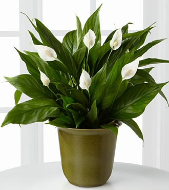 Down to Earth Peace Lily Plant - 6.5-inch