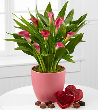 Pink Poetry Calla Lily Plant with Chocolates - 6.5-inches