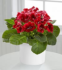 Flowering Focus Spring Gloxinia Plant