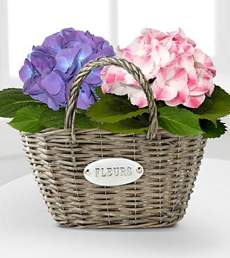 Spring Symphony Hydrangea Plant Duo