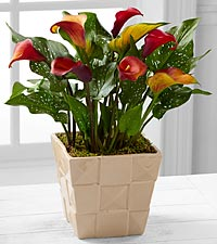 Harvest Daydreams Calla Lily Plant