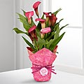 Pinking of a Cure Breast Cancer Awareness Calla Lily Plant