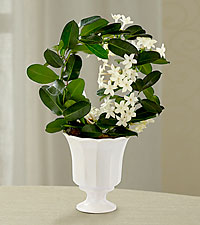 Garden's Grace Stephanotis Plant
