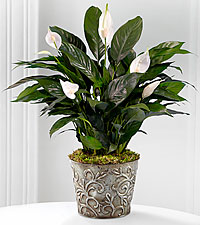 Prayers for Peace Lily Plant - BETTER