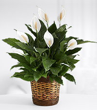 Touched by Peace Lily Plant - GOOD