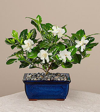 Blossoming Abundance Gardenia Bonsai - 8-inch