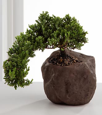 Stunning Summits Green Mound Juniper Bonsai - 6-inches high