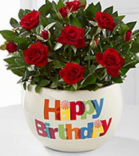 Happy Birthday Beauty Mini Rose Plant
