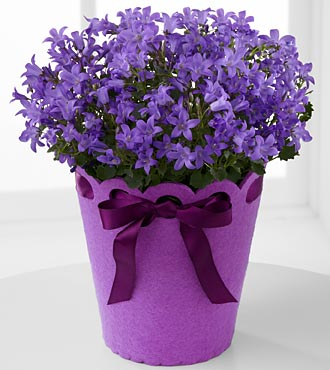 Perfect In Purple Birthday Campanula Plant