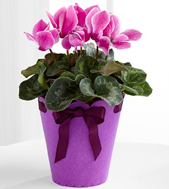 Let's Celebrate Birthday Cyclamen Plant