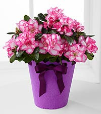Flowering Fun Birthday Azalea Plant