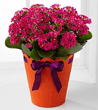 Celebrate Your Birthday! Kalanchoe Plant