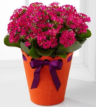 Celebrate Your Birthday! Kalanchoe Plant