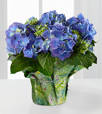 Blue Beauty Hydrangea - GOOD