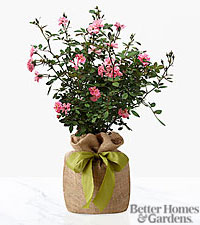 The FTD ® Rosy Outlooks Rose Bush by Better Homes and Gardens ®