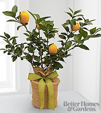 The FTD ® Citrus Sightings Lemon Tree by Better Homes and Gardens ®