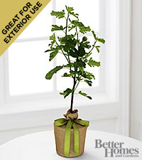 The FTD&reg; Fruitful Foundations Fig Tree by Better Homes and Gardens&trade;