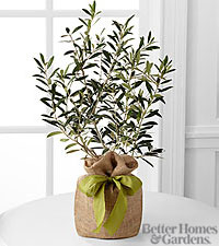 The FTD ® Peaceful Path Olive Tree by Better Homes and Gardens ®