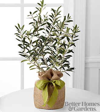 The FTD® Peaceful Path Olive Tree by Better Homes and Gardens®