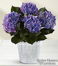 The FTD ® Vintage Beauty Hydrangea Plant by Better Homes and Gardens ®