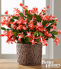 The FTD ® Autumn Spice Zygo Cactus by Better Homes and Gardens ®