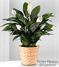 The FTD ® Perfect Peace Lily Plant by Better Homes and Gardens ® - GOOD