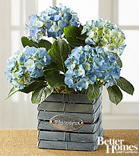 The FTD ® Blue Beauty Hydrangea by Better Homes and Gardens ®
