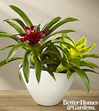 The FTD ® Sunfire Bromeliad Dish Garden by Better Homes and Gardens ®