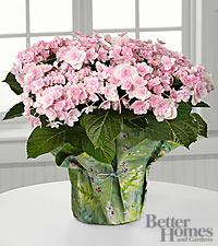 The FTD ® Pleasing in Pink Angel's Parasol Hydrangea by Better Homes and Gardens ®