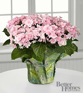 The FTD&reg; Pleasing in Pink Angel's Parasol Hydrangea by Better Homes and Gardens&reg;